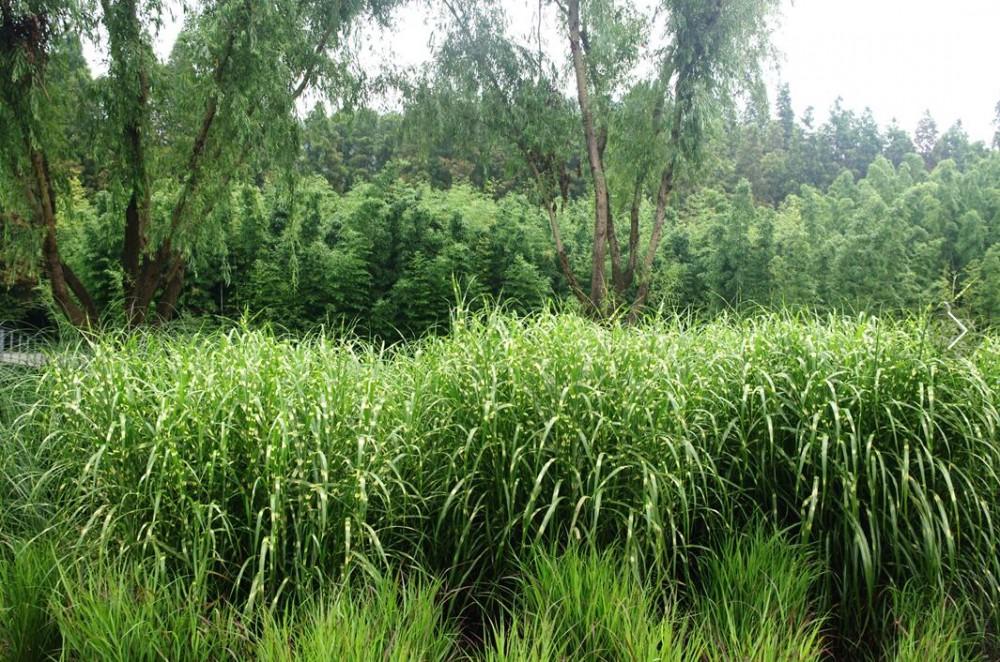 弯囊苔草,小花臭草,西藏薹草