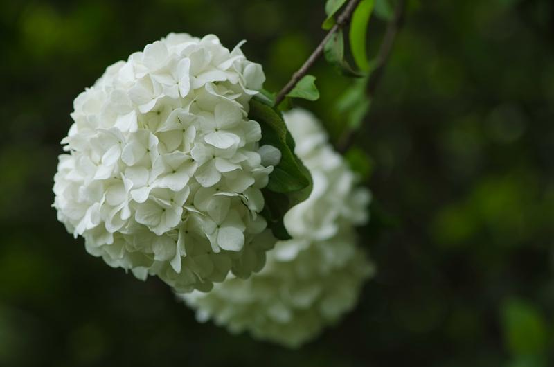 绣球荚蒾  蓝枫